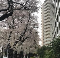 桜満開の季節ですね。